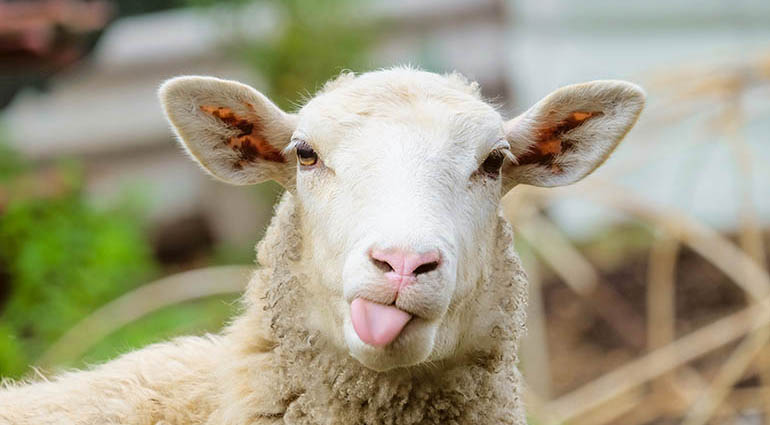 Clever Sheep